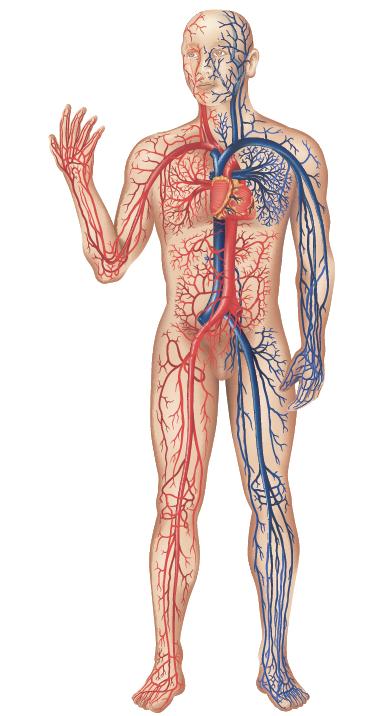 bloedsomloop verbeteren vitamine
